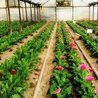 Выращивание цветов как бизнес, вложения: от 5