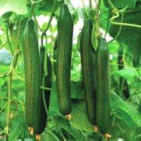 Премудрости выращивания огурцов в теплице: от посадки рассады до <u>как подвязать огурцы на грядке</u> сбора урожая