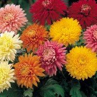 Цветущий сад до самого снега: лучшие цветы, которые будут радовать бесконечно долго