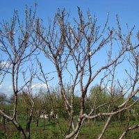 Обрезка молодой яблони — по силам даже новичку!