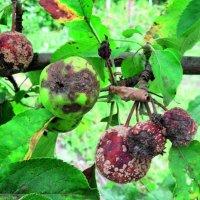 Почему яблоки гниют на деревьях и как с этим бороться