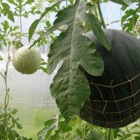 Сажаем арбузы в теплице