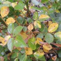 Почему у розы желтеют и опадают листья: спасаем королеву сада