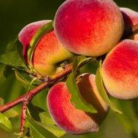 Болезни персика и их лечение, вредители персика и борьба с ними, а также, как защитить и восстановить поврежденное растение