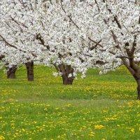 Весенний уход за яблонями: чтобы урожай порадовал