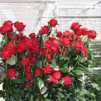 Розы в теплице: правила выращивания и ухода за «королевой цветов»