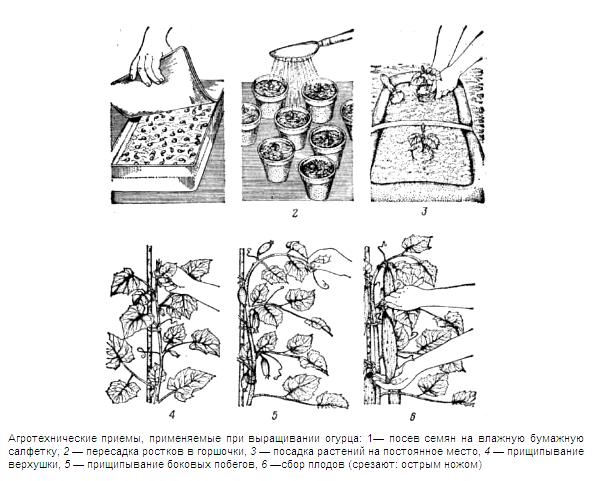 Схема выращивания огурцов в теплице.