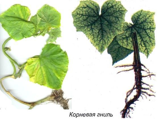 Болезни малины и вредители малины