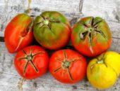 Почему трескаются помидоры в теплице - болезни томатов