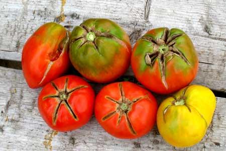 Почему трескаются помидоры в теплице + обзор различных болезней томатов