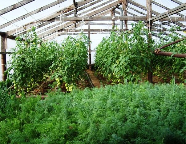 Выращивание лука на зелень в теплице 70