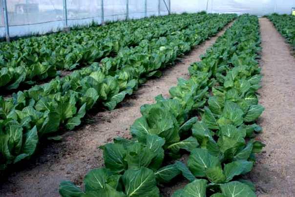 Первый полив капусты можно