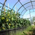 Теплица «Урожай» — вариант элит, классик и эконом