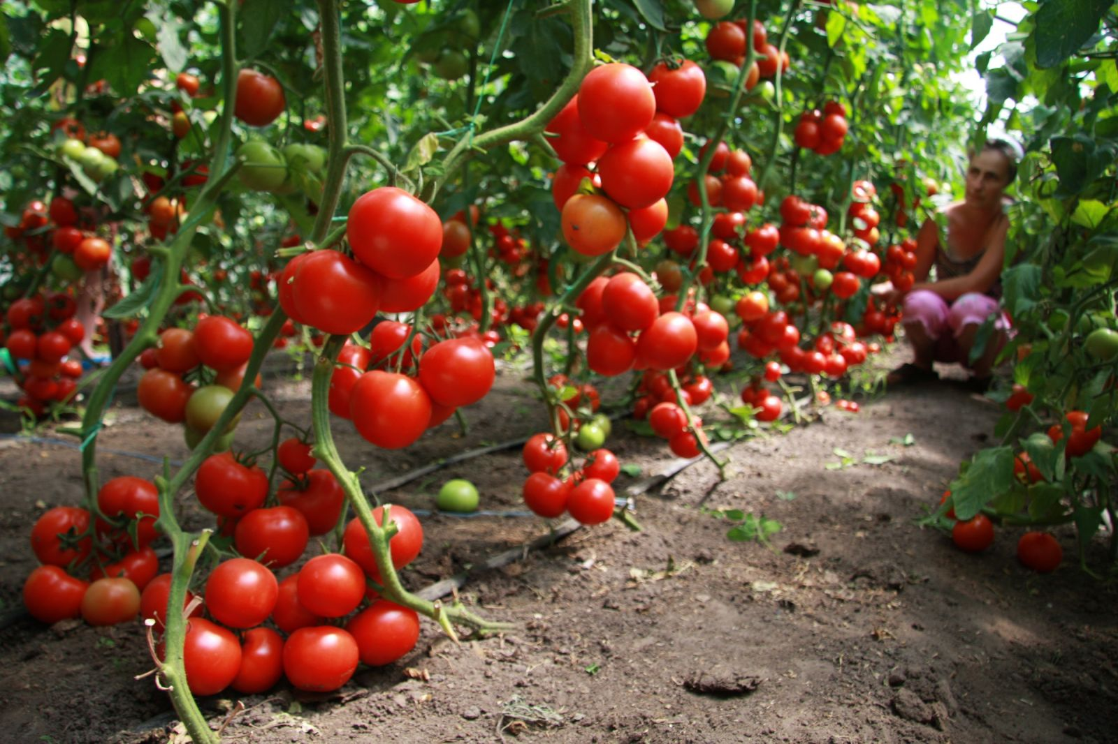 Выращивание помидоров в теплице - подробное описание процесса!