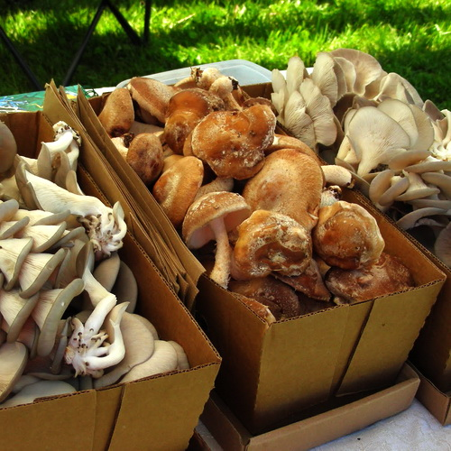 Как выращивать грибы вешенки в теплице в мешках зимой?