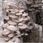 Выращивание грибов в теплице — вешенок и шампиньонов