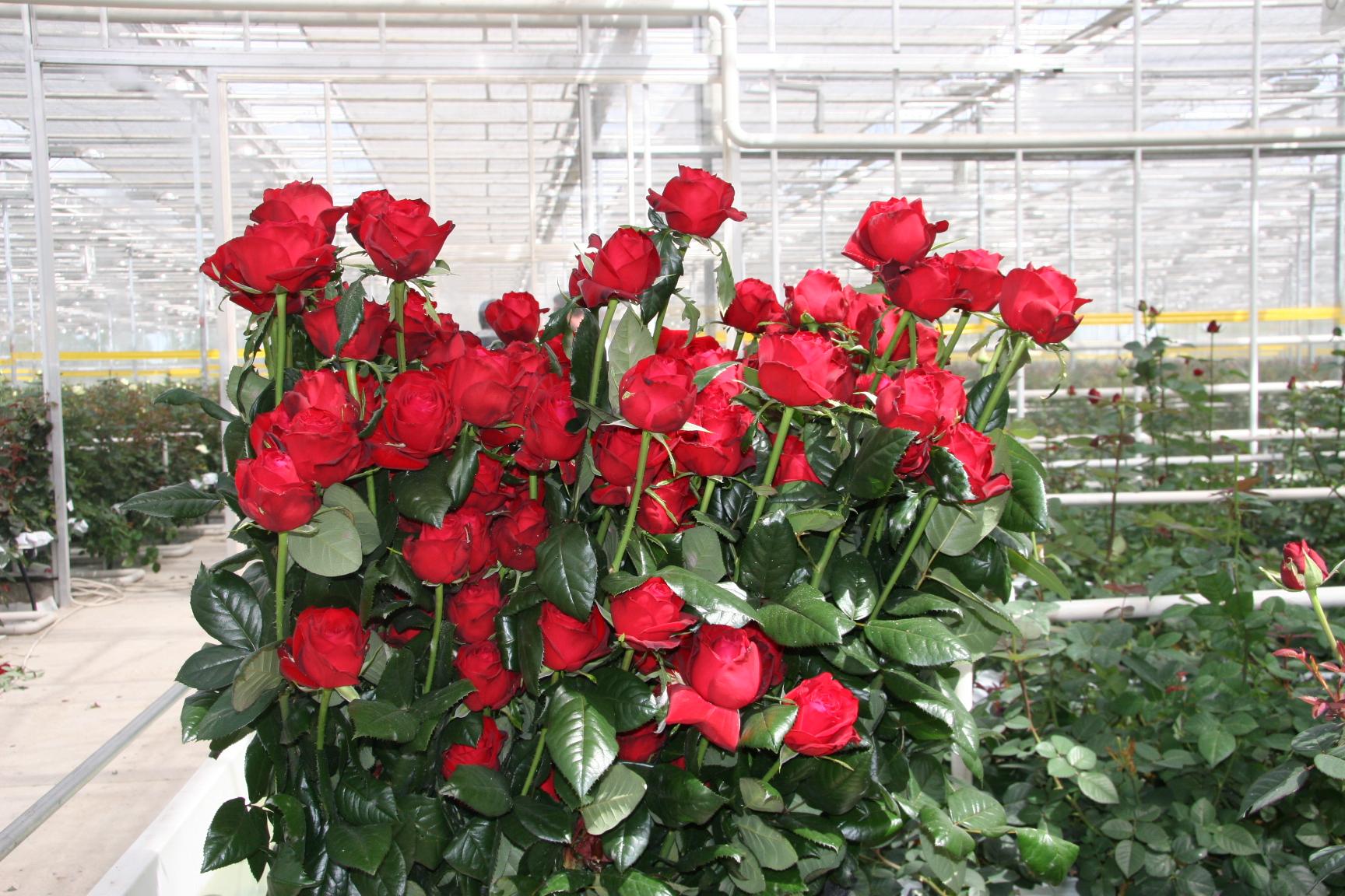 """Розы в теплице: правила выращивания и ухода за """"королевой цветов"""""""