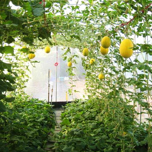 Выращивание дыни в закрытом грунте 79