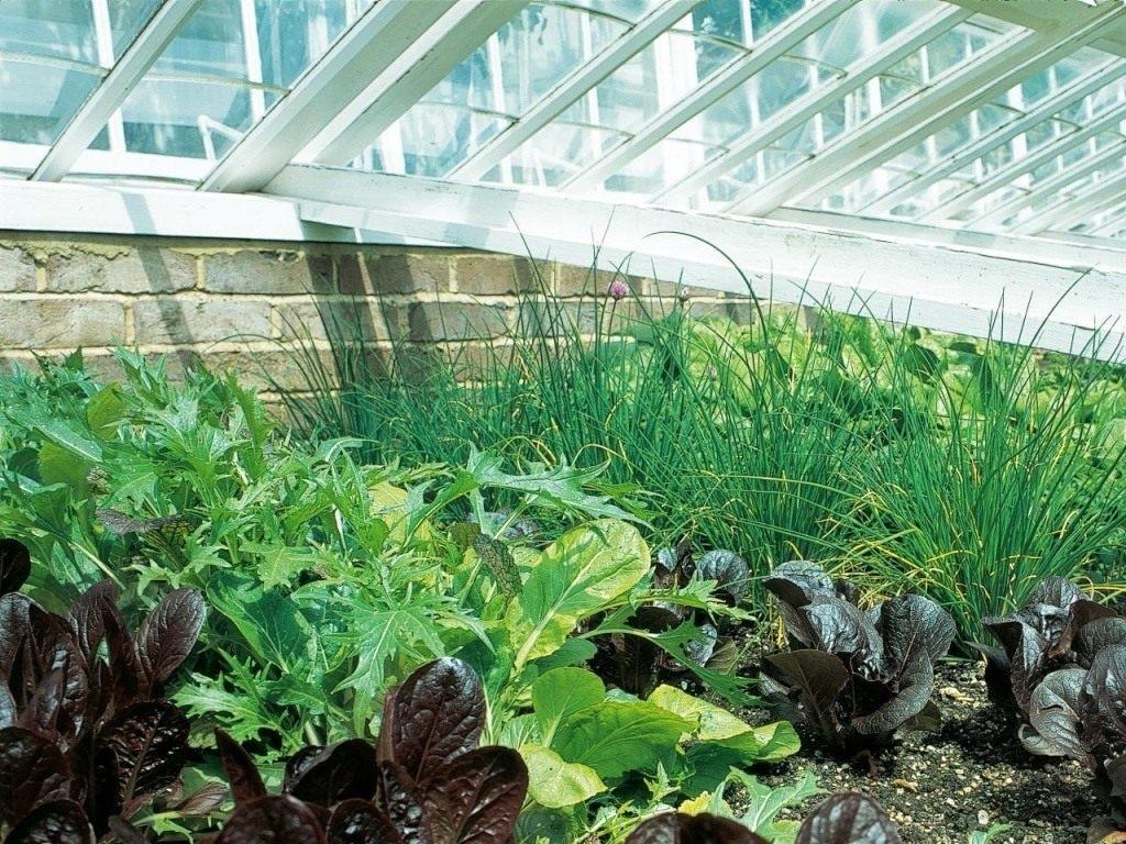 Как вырастить салат, лук, укроп и петрушку в своей теплице: сборка полезных советов