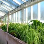 Зелень в теплице — технология посадки и все про выращивание