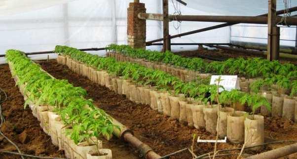 Когда выращивать рассаду в теплице 650