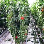 Выращивание перца в теплице — все премудрости в одном месте