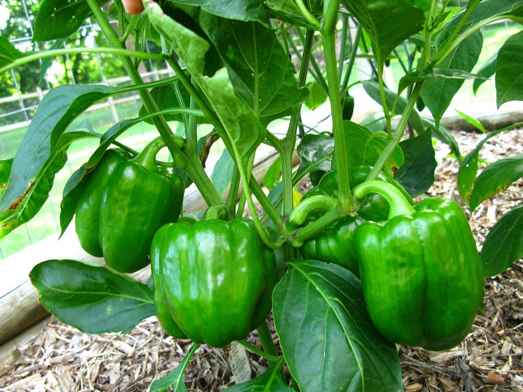 Технология выращивания перца в теплице: все премудрости в одном месте