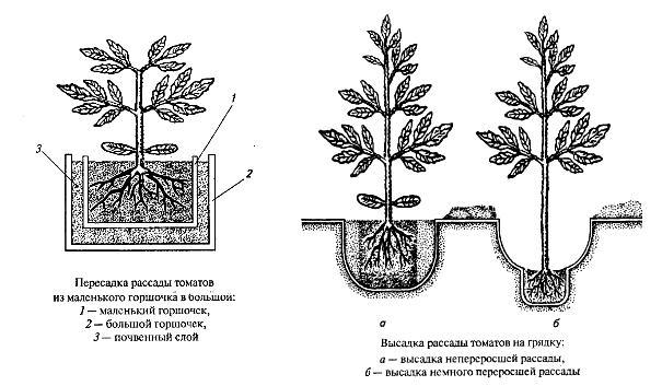 Как выращивать помидоры в теплице, секреты садоводов 69