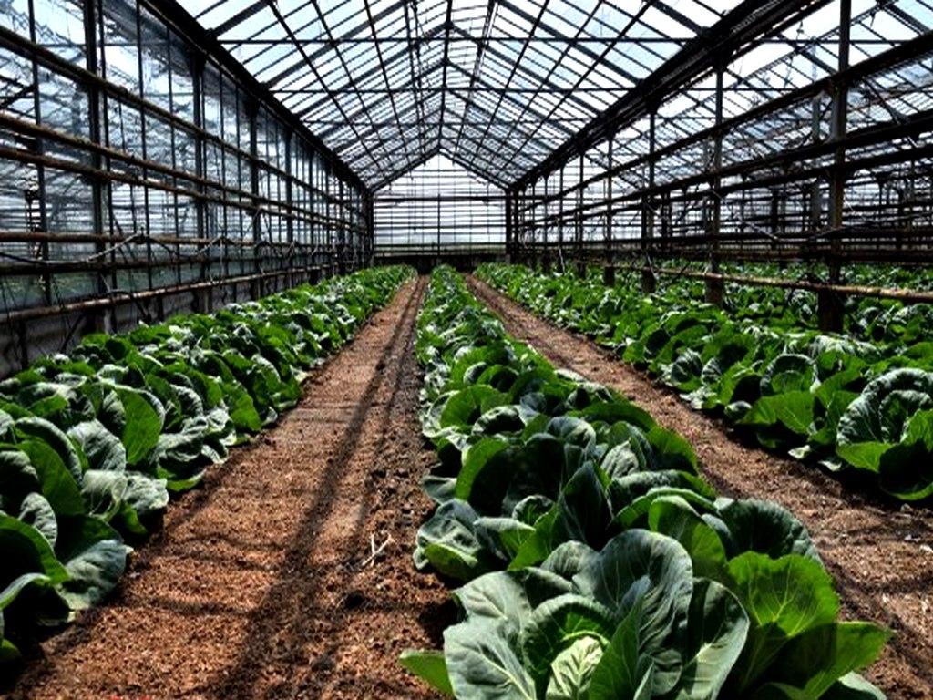 Выращивание капусты в теплице: ранней, пекинской, цветной и белокочанной