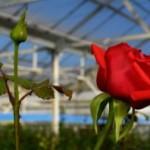 Розы в теплице — выращивание и уход за королевой цветов