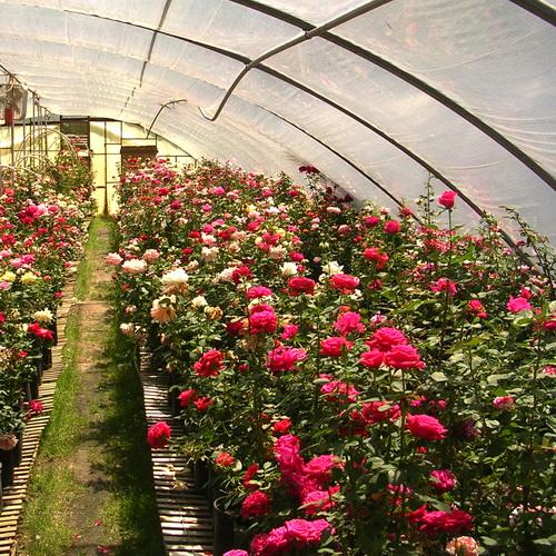 Особенности выращивания роз в теплице