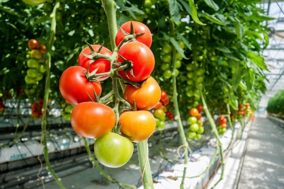 Обзор лучших сортов и семян томатов для теплиц для различных условий