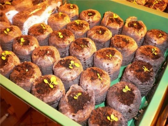 Выращивание петуний в таблетках