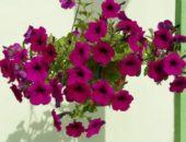 Выращиваем петунии