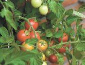 Нужно ли обрывать листья у томатов