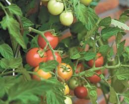 Нужно ли обрывать листья у томатов и как правильно это делать?
