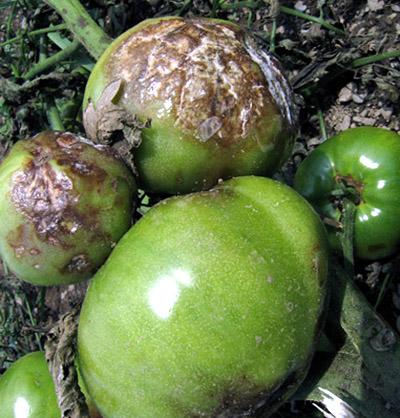 Все про фитофтороз томатов и как с ним бороться
