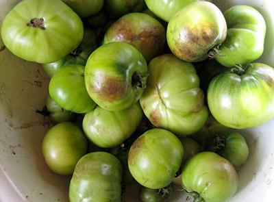 Зараженные помидоры