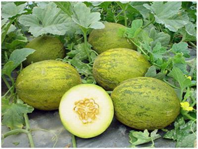 Как вырастить арбузы и дыни в сибирской теплице?