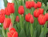 Выращивание тюльпанов в теплице