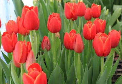 Как в теплице вырастить тюльпаны на продажу?