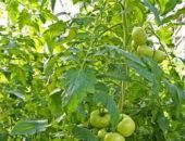 Жирование томатов - как остановить процесс роста зелени?