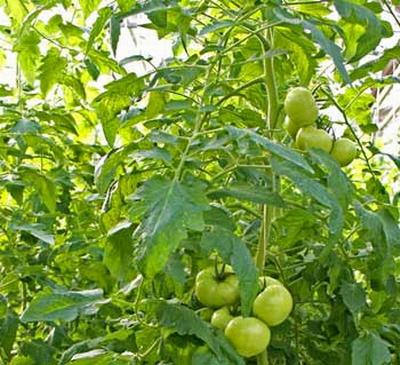 Как увеличить урожайность томатов в теплице – от чего она зависит?