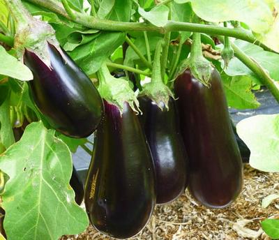 Какие трудности могут быть при выращивании баклажан?