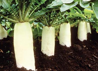 Разбираемся как правильно выращивать в теплице дайкон – китайскую редьку