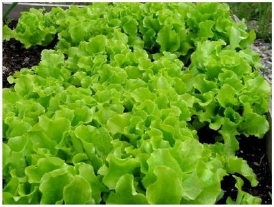 Как получить хороший урожай салата раньше обычного?