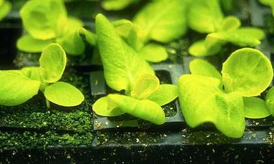 Посев листового салата в горшочки