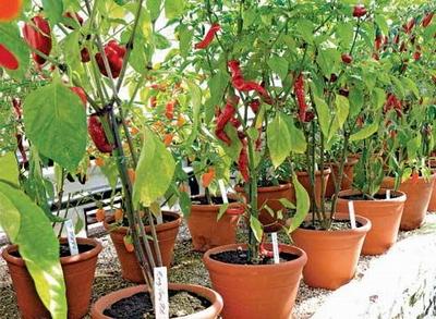 Выращивание перца чили в горшках