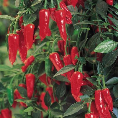 Каким образом вырастить в теплице острый перец чили?