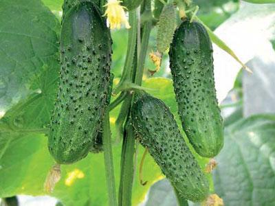 Способы повышения урожайности тепличных огурцов